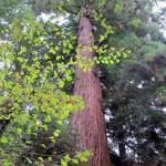 Muir Woods e Napa, Califórnia
