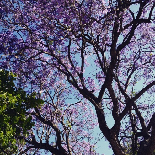 May 2015 - Jacaranda season